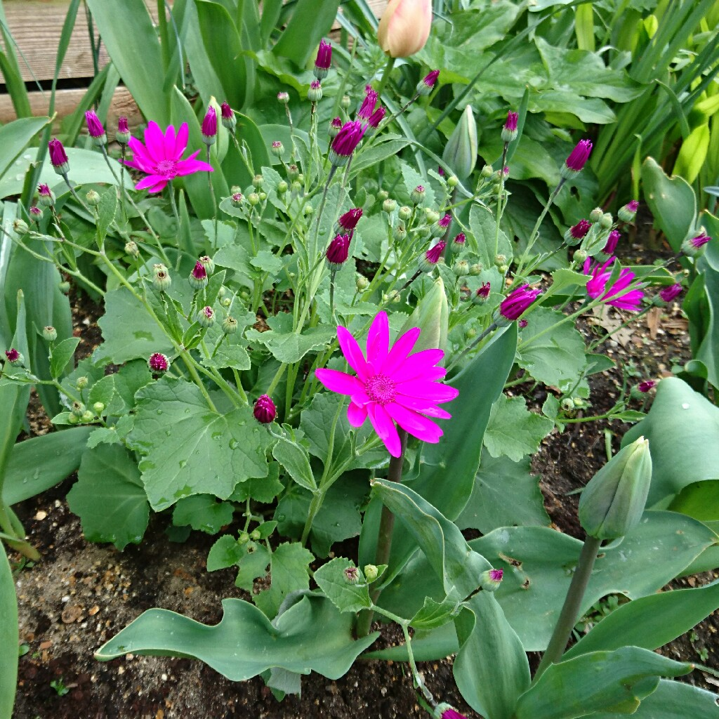Florists Cineraria Senetti Magenta in the GardenTags plant encyclopedia