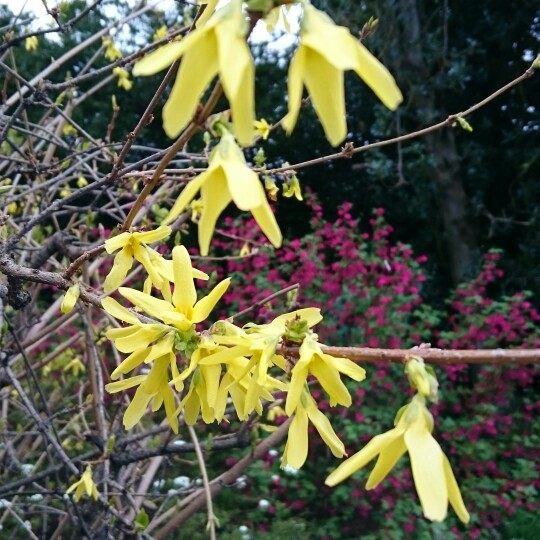 Forsythia in the GardenTags plant encyclopedia