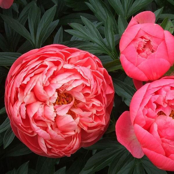 Peony Coral Charm (Herbaceous) in the GardenTags plant encyclopedia