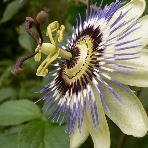 Passion flower in the GardenTags plant encyclopedia
