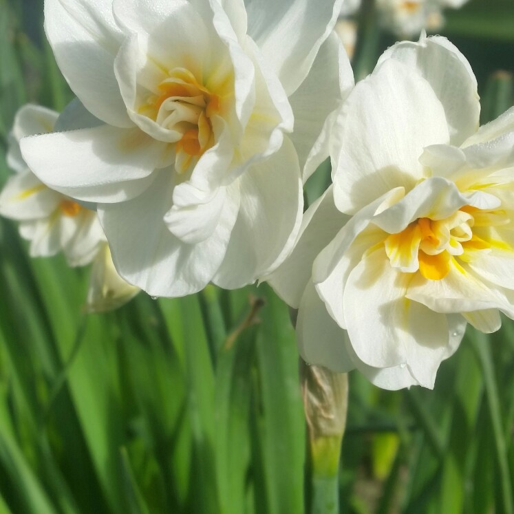 Daffodil Acropolis (Double) in the GardenTags plant encyclopedia