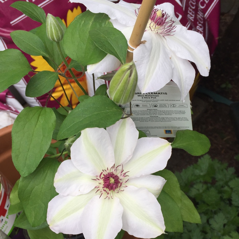 Clematis Miss Bateman in the GardenTags plant encyclopedia