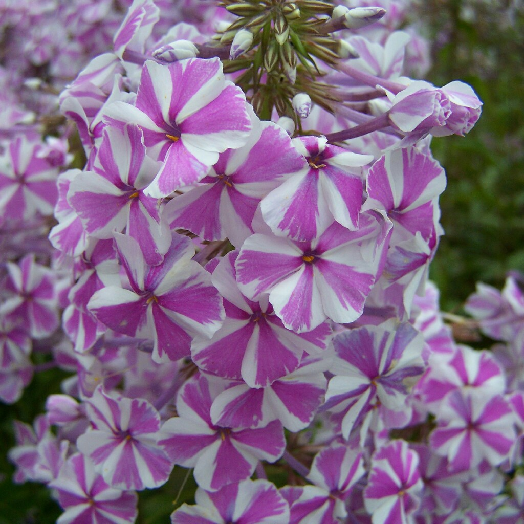Phlox maculata Natascha in the GardenTags plant encyclopedia