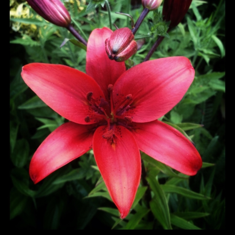 Lily Black Out (Asiatic) in the GardenTags plant encyclopedia