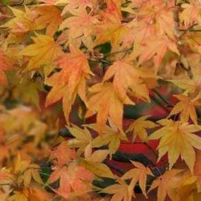Japanese Maple Katsura in the GardenTags plant encyclopedia