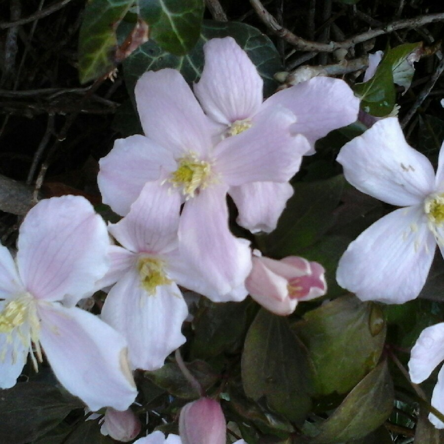 Clematis Rubens in the GardenTags plant encyclopedia