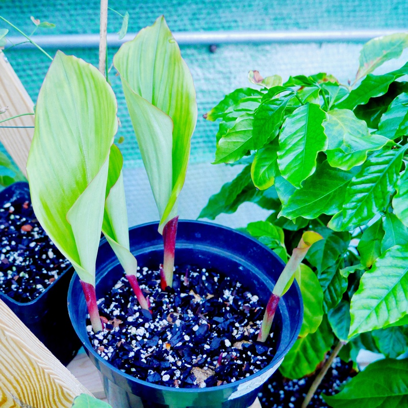 Thai black ginger in the GardenTags plant encyclopedia