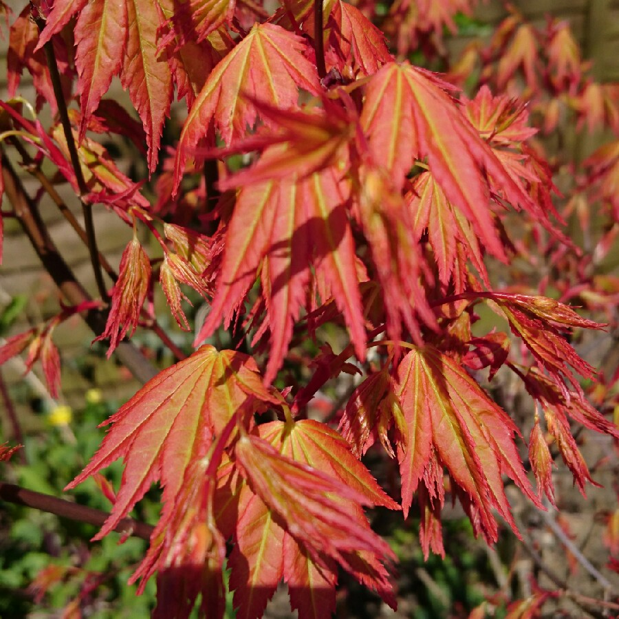 Acer Palmatum Orange Dream Japanese Maple Orange Dream In