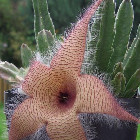 Starfish flower in the GardenTags plant encyclopedia