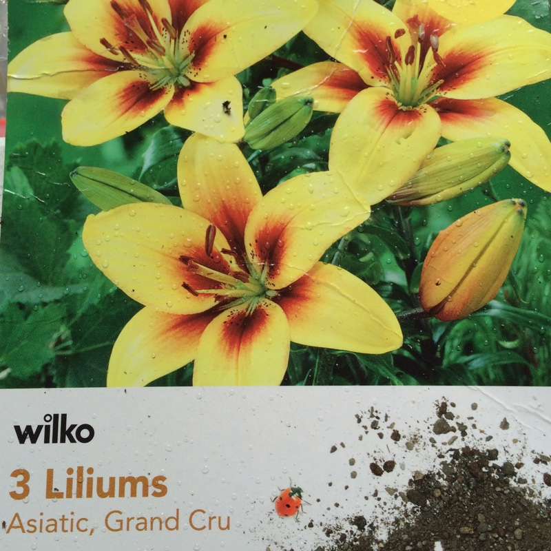 Lily Grand Cru (Asiatic) in the GardenTags plant encyclopedia