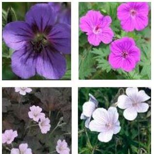 Geranium (Hardy) in the GardenTags plant encyclopedia