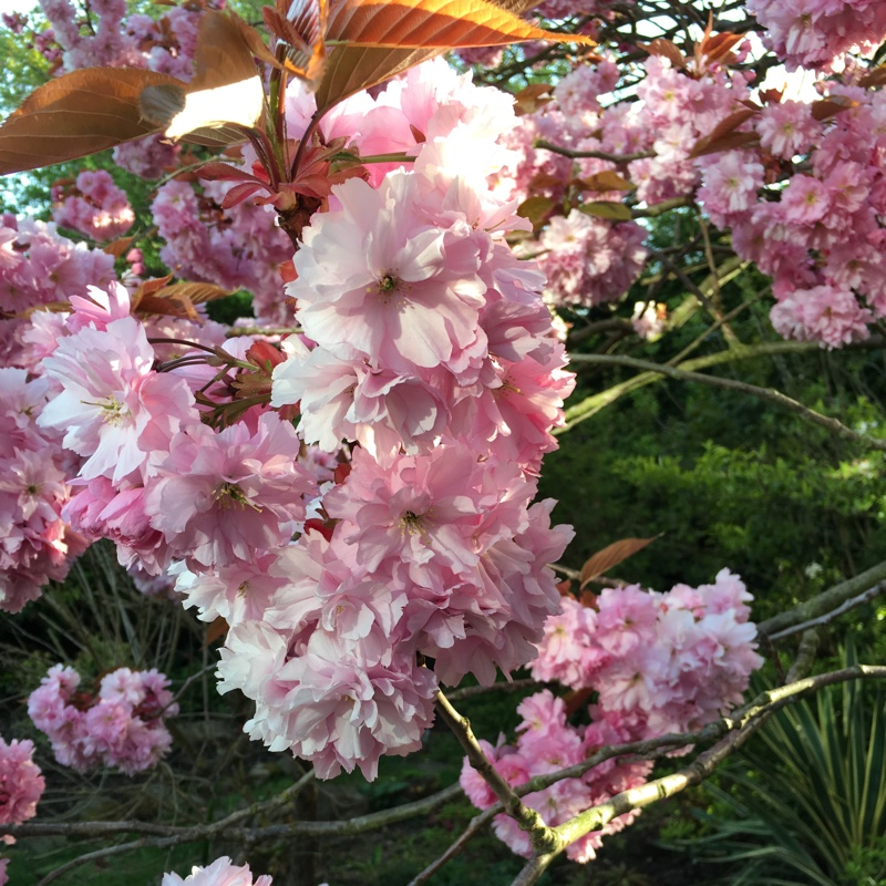 Japanese Flowering Cherry Tree in the GardenTags plant encyclopedia