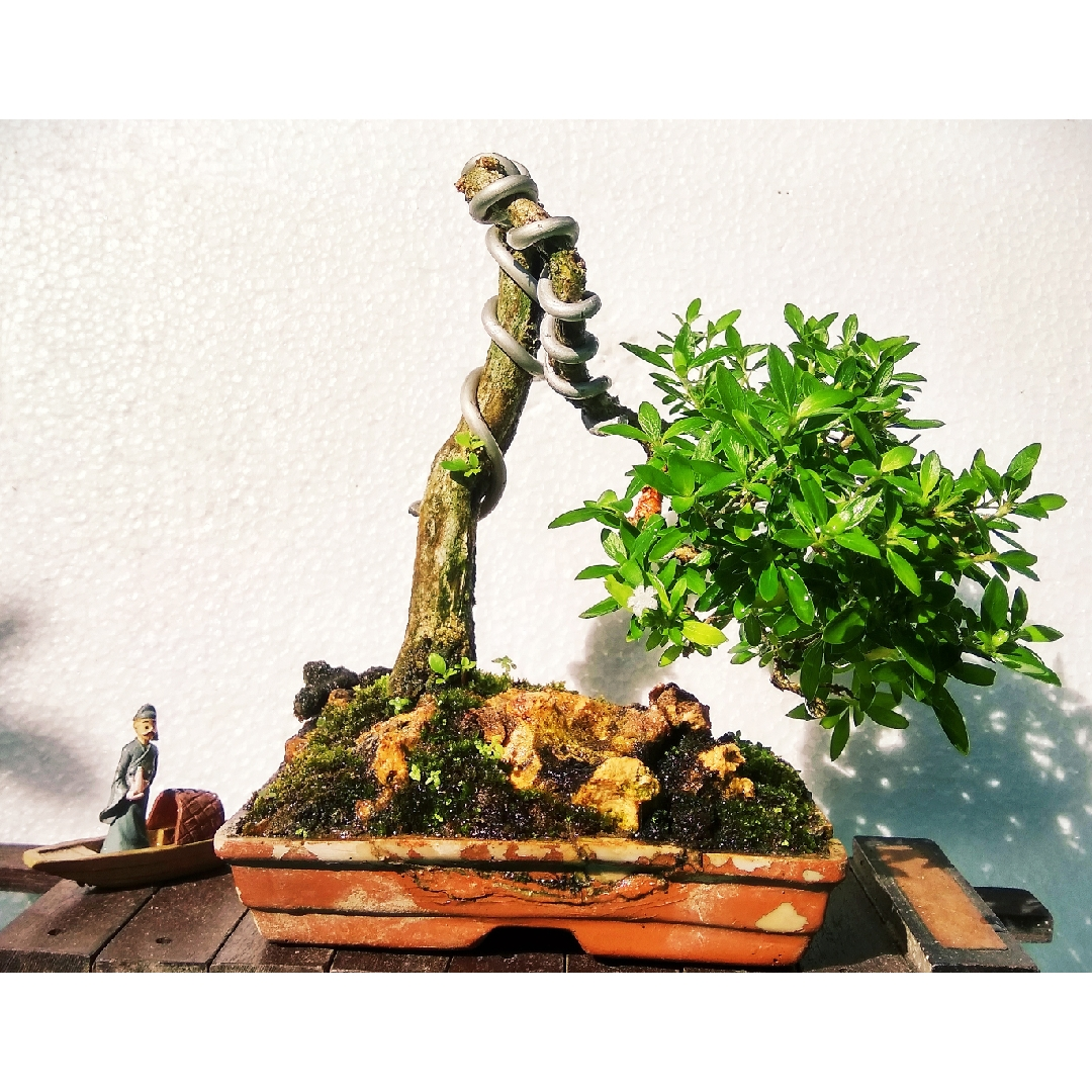 Bonsai Tree Of A Thousand stars in the GardenTags plant encyclopedia