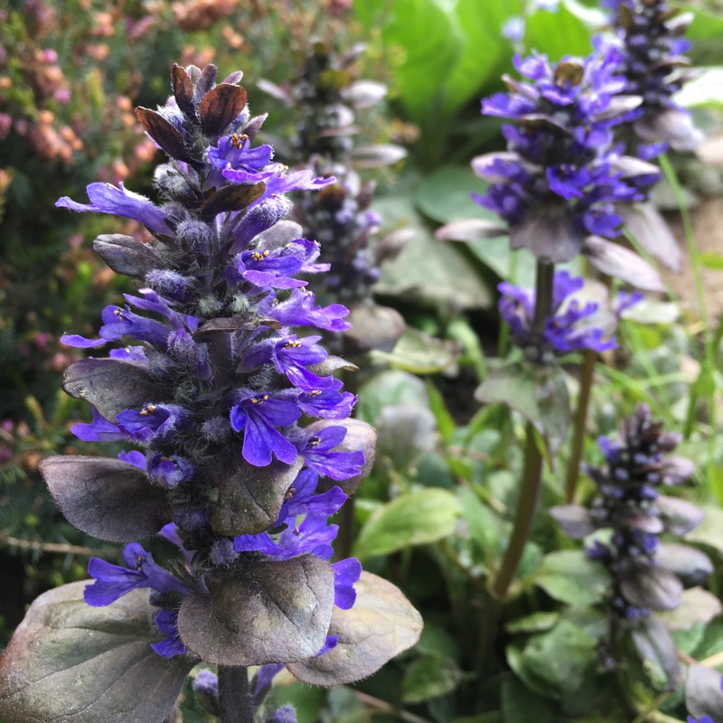 Bugle Catlins Giant in the GardenTags plant encyclopedia