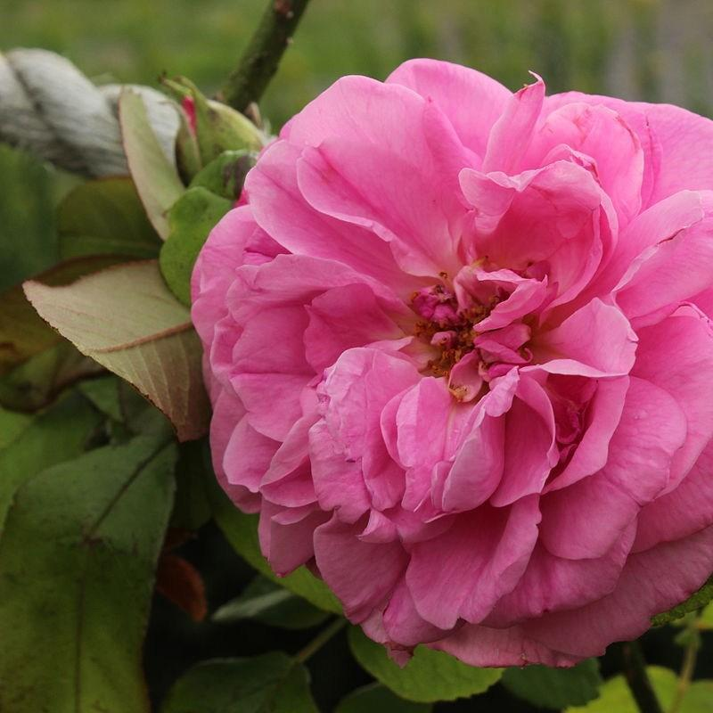 Rose Gertrude Jekyll (Shrub) in the GardenTags plant encyclopedia