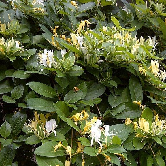 Honeysuckle in the GardenTags plant encyclopedia