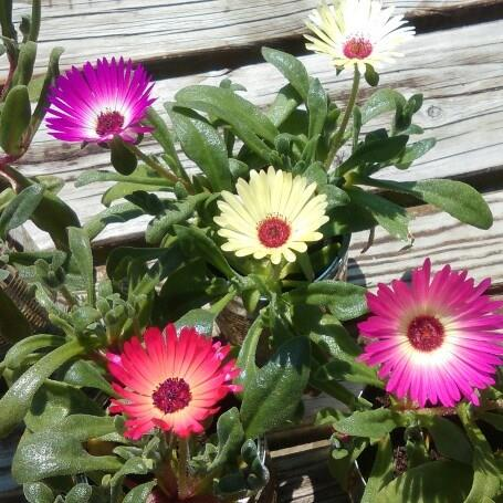 Livingstone Daisy in the GardenTags plant encyclopedia
