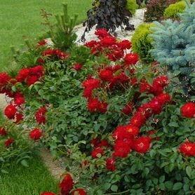 Rosa Mainaufeuer Kortemma Syn R Chilterns R Red Ribbons