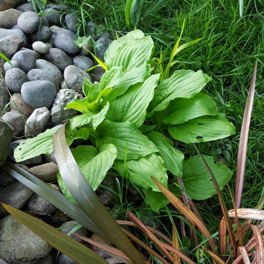 Hosta Honeybells Plantain Lily Honeybells In Gardentags Plant