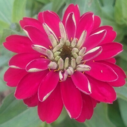 Zinnia in the GardenTags plant encyclopedia