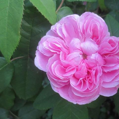 Old Rose Jacques Cartier in the GardenTags plant encyclopedia