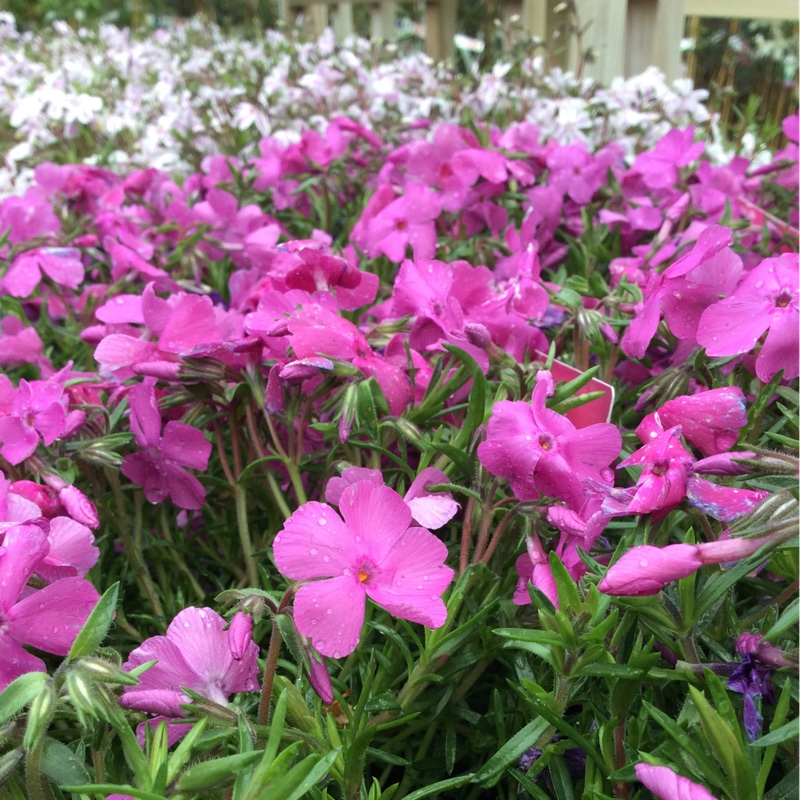Moss Phlox McDaniels Cushion in the GardenTags plant encyclopedia