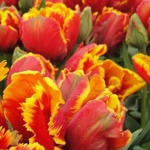 Tulip Bright Parrot In The Gardentags Plant Encyclopedia