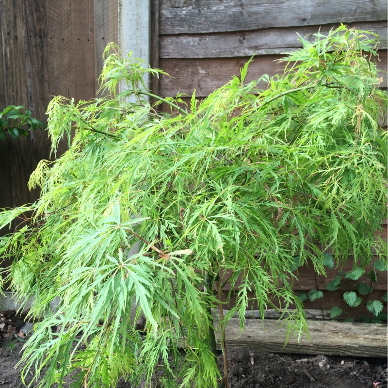 Cut-Leaved Japanese Maple in the GardenTags plant encyclopedia