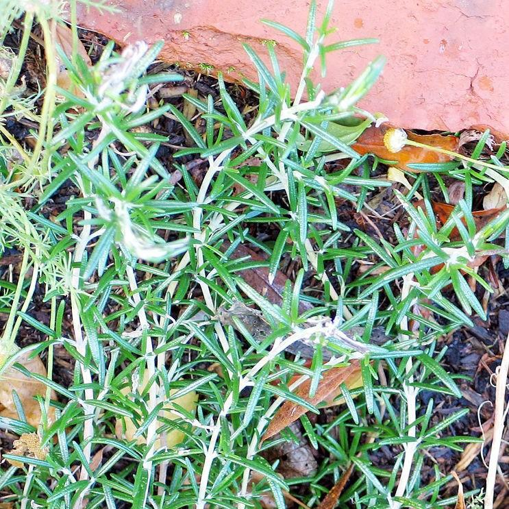 Rosemary in the GardenTags plant encyclopedia