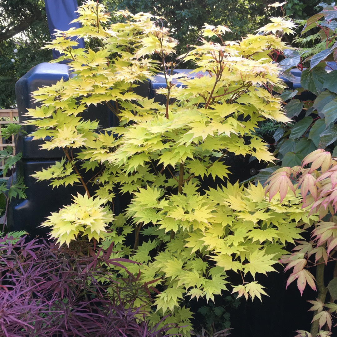 Acer Shirasawanum Jordan Full Moon Maple Jordan In Gardentags