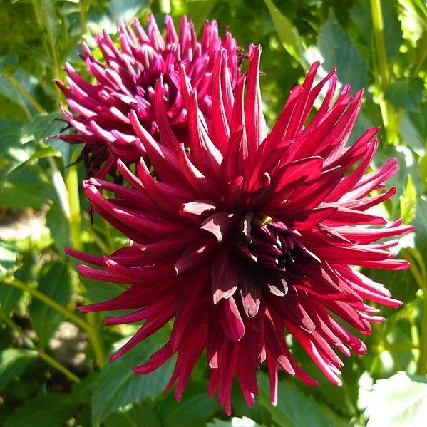 Dahlia Nuit dete in the GardenTags plant encyclopedia