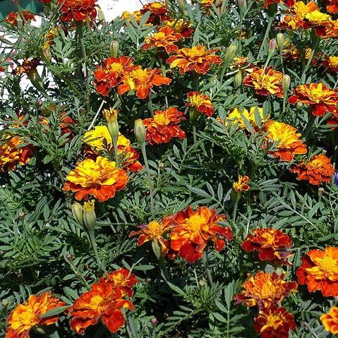 French marigold in the GardenTags plant encyclopedia