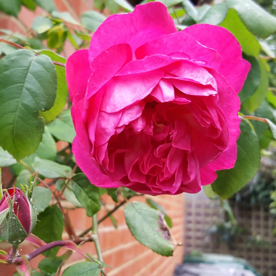 Rose Darcey Bussell (Shrub) in the GardenTags plant encyclopedia