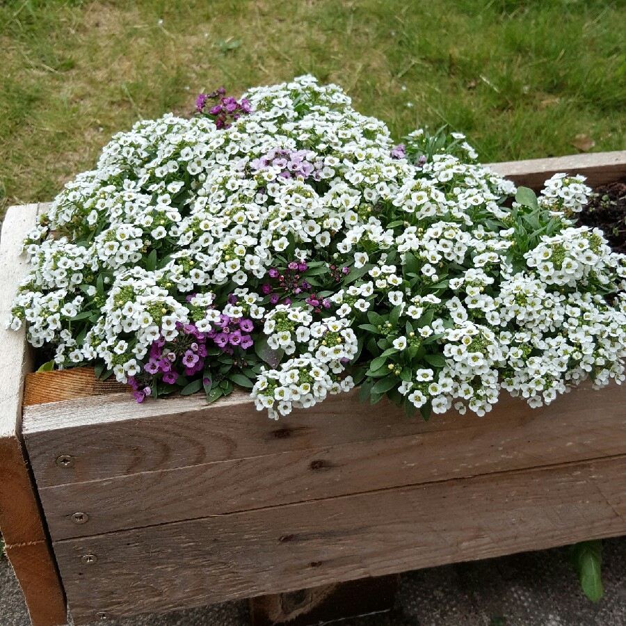 Sweet Alyssum in the GardenTags plant encyclopedia