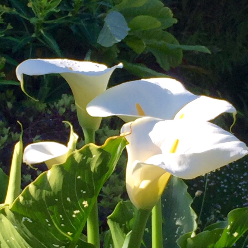 Arum Lily White Giant in the GardenTags plant encyclopedia