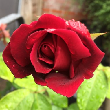 Rose 'Crimson Glory' (Hybrid Tea)