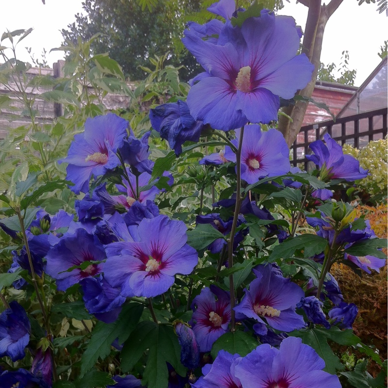 Hibiscus Syriacus Oiseau Blue Syn Blue Bird Rose Of Sharon
