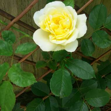 Rose 'The Pilgrim' (Shrub)