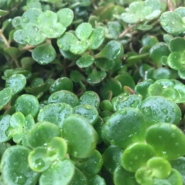 Sedum Green Mound