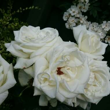 Rose 'Silver Anniversary'