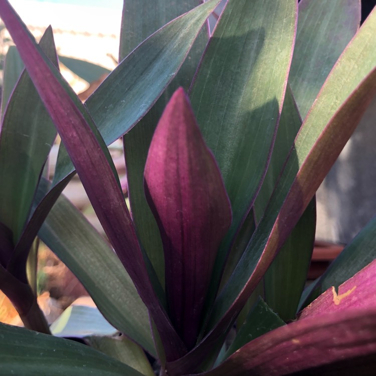 Plant image Tradescantia spathacea syn. Rhoeo spathacea, Rhoeo discolor