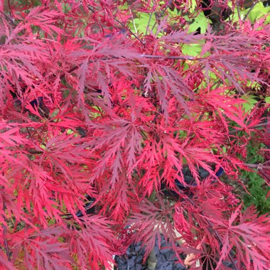 Acer palmatum 'Garnet' (Dissectum Group) syn. Acer palmatum var. dissectum 'Garnet'
