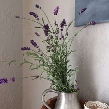 Spanish/ French Lavender 'Silver Anouk'