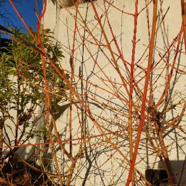 Red-twig Dogwood 'Midwinter Fire'