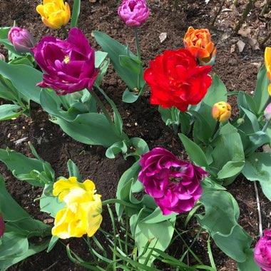 Tulip 'Royal Acres' (Double Early)