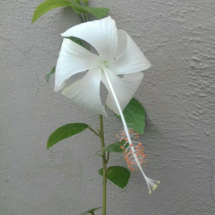 Plant image Hibiscus rosa-sinensis 'Dainty White'