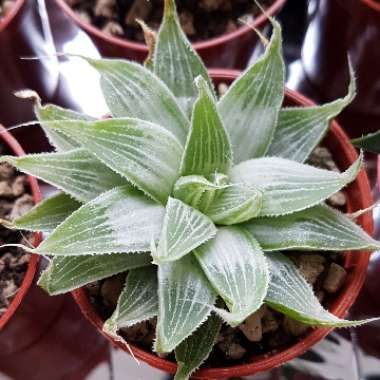 Haworthia 'Grey Ghost'