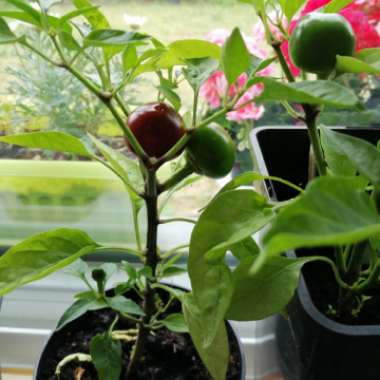 Chilli Pepper 'Hot Red Cherry'