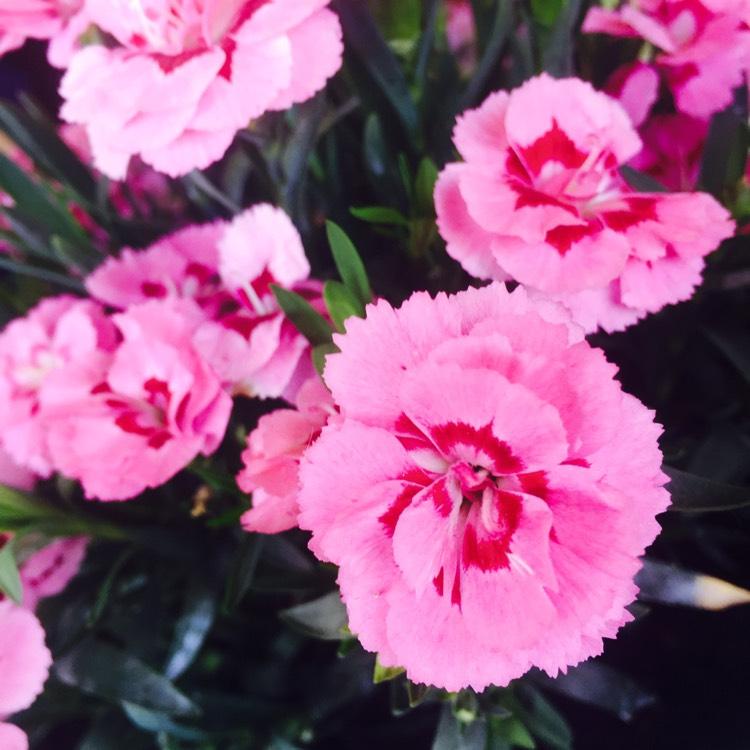 dianthus caryophyllus 39 raspberry ripple 39 carnation 39 raspberry ripple 39 uploaded by usgardentags. Black Bedroom Furniture Sets. Home Design Ideas