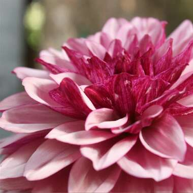 Dahlia 'Blackberry Crush'